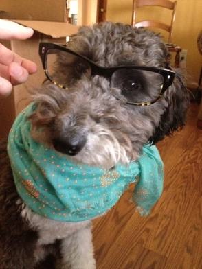 Lola the Aussiedoodle wears glasses and a scarf