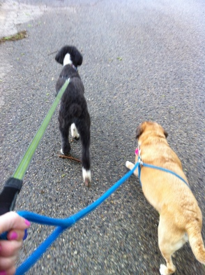 Lola the Aussiedoodle dog and Moose walk together on their leashes
