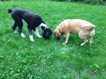 Lola and Moose sniff some grass