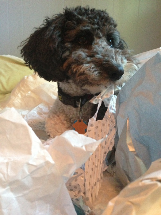 Lola the aussiedoodle dog eats some wrapping paper