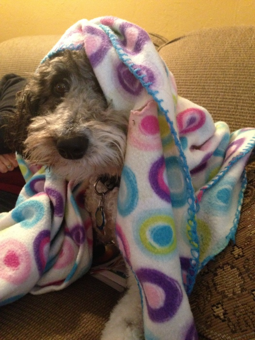 Lola the aussiedoodle dog takes cover under her blanket because a snow storm is coming and she wants to stay warm