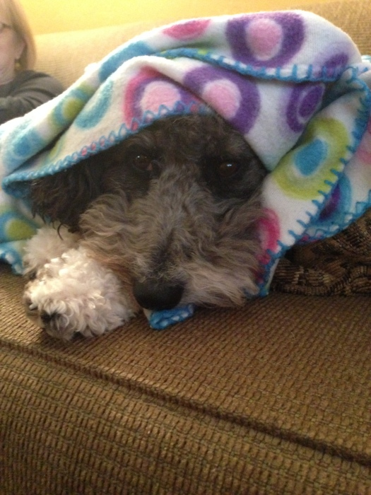 lola the aussiedoodle dog covers up with her blanket in the winter