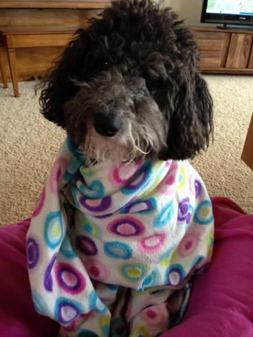 Lola the Dog sits on her blanket wrapped in a colorful blanket to warm up