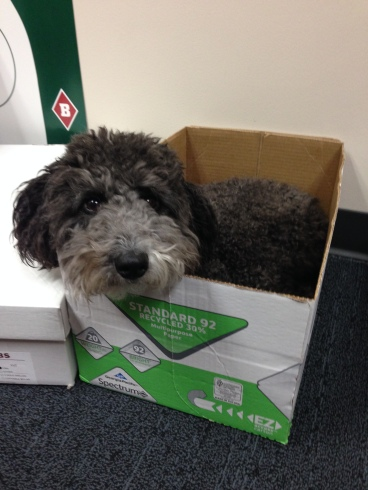 Lola the Dog lays in a box at the office