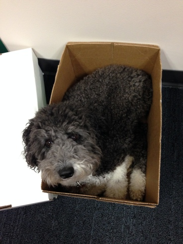 Lola the Dog lays in a box at the office and looks up expectantly
