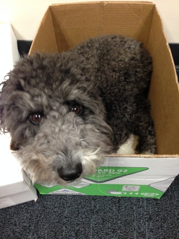 Close up of Lola the Dog in a box at the office